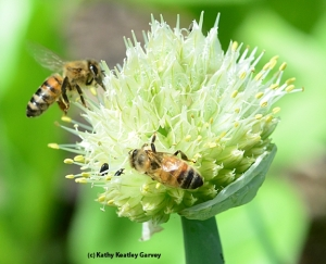 Honey bees on an onion umbel by Kathy Keatley Garvey